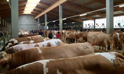 Fleckvieh and crossbred Fleckvieh dairy livestock for sale and selection in Northern Ireland